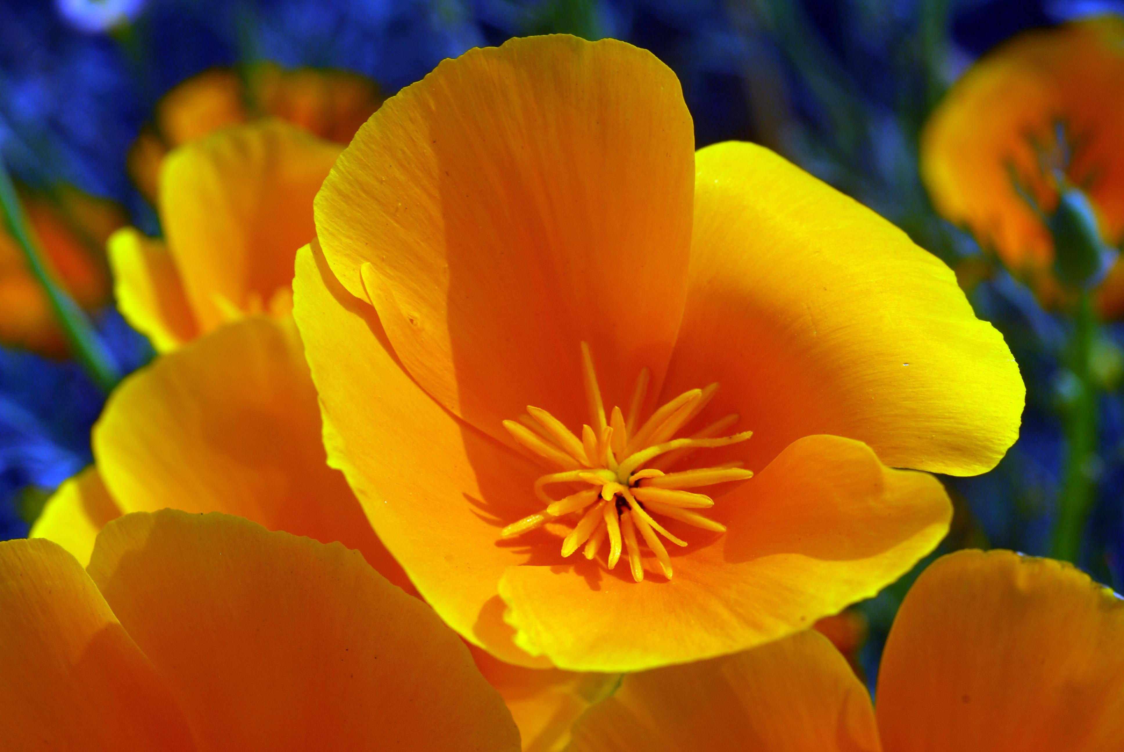 daffodils, flowers, nature, flower essences