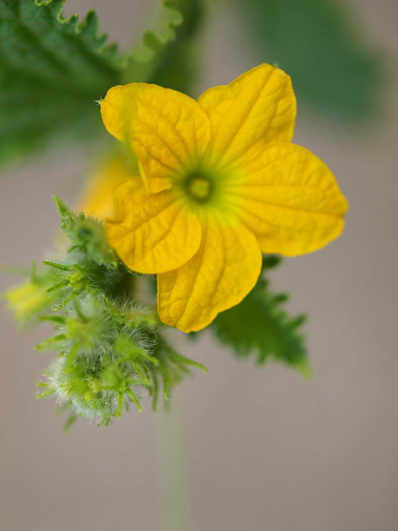 Cantaloupe Cucumis Melo Calm Pegasus Products These are all flowering plants. cantaloupe cucumis melo calm