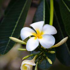 Flower-Plumeria