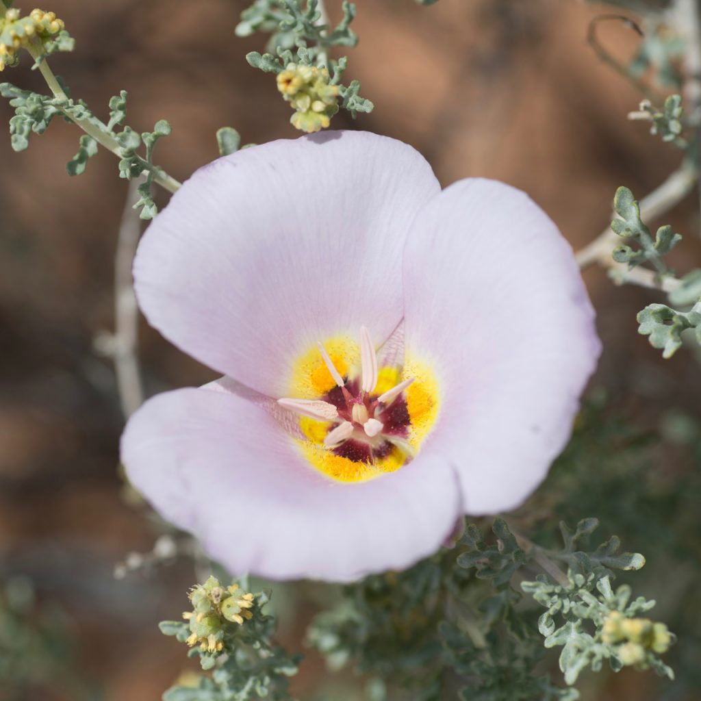 USA, Nevada, Clark County, Gold Butte National Monument. Winding Mariposa Lily (Calochortus flexuosus) growing up through white bursage (Ambrosia dumosa).